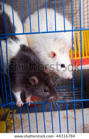 Two rats look out of a cage