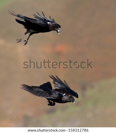two ravens in flight - stock photo