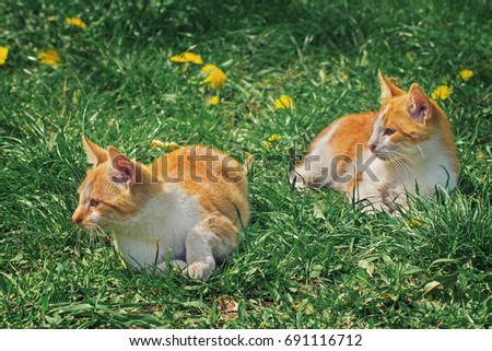 Two red and white brother kittens relaxing on the grass under the sun