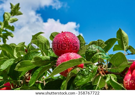 Two red apples on a branch covered with water drops against the blue sky - stock photo