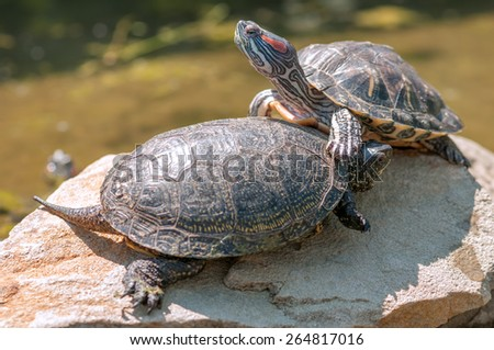 two red ear tortoice close up - stock photo