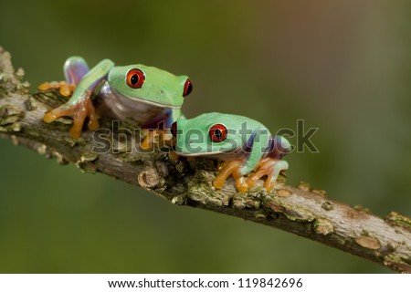 Two Red Eyed Treefrogs hanging out together - stock photo