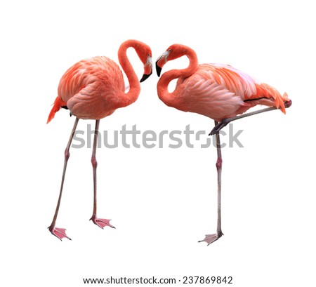 Two red flamingo birds isolated on white background - stock photo