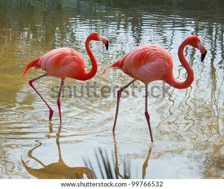 Two red flamingo in the pond - stock photo