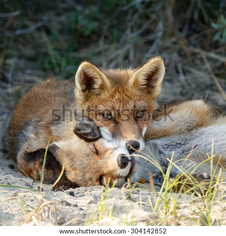 Two red fox cubs playing and cuddling - stock photo