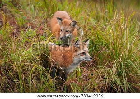 Two Red Fox (Vulpes vulpes) in the Grass - captive animals