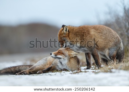 Two red foxes cuddling in wintertime - stock photo