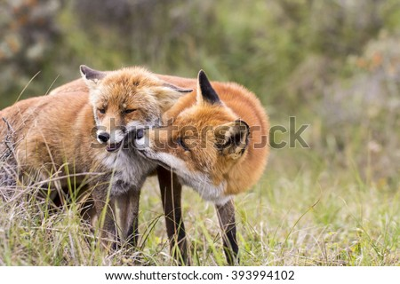 Two Red Foxes Kissing and Cuddling in the Dunes