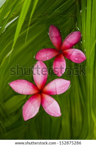 two red frangipani and palm leaf background  - stock photo