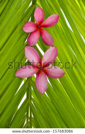 Two red frangipani on wet palm leaf - stock photo