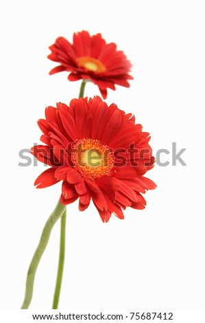 Two Red gerbera blossom - stock photo