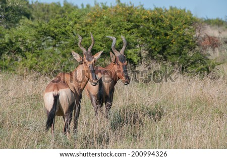 Two Red Hartebeest standing in grass - stock photo