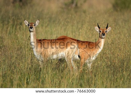 Two red lechwe antelopes (Kobus leche), southern Africa
