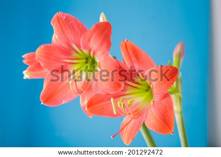 Two red lily flowers blue background :shade shadow macro focus Carpel ,have color yellow ,rad ,green - stock photo