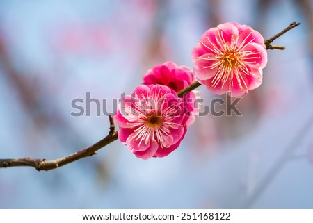 two red plum flowers closeup  - stock photo