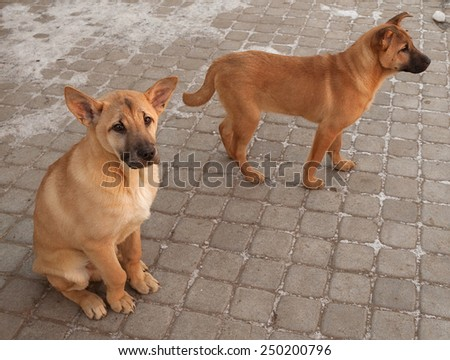 Two red puppy sitting on background of paving slabs - stock photo