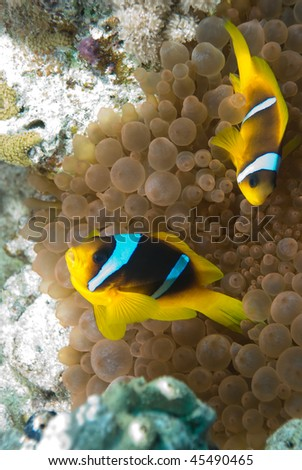 Two Red sea anemone fish (amphiprion bicinctus) in the protection of their host Bubble anemone (entacmaea quadricolor). Red Sea, Egypt. - stock photo