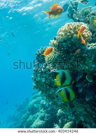 Two Red sea banner fish and in the background a Lionfish - stock photo