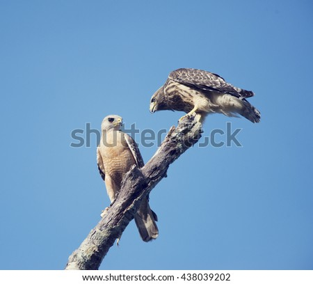 Two Red Shouldered Hawks perching, adult and immature one