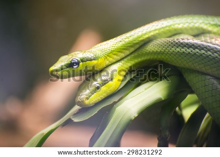 Two Red-tailed Green Ratsnakes mating or reproducing. - stock photo