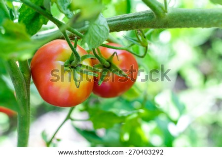 Two red tomatoes on tomato plant - stock photo