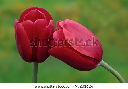 Two Red Tulip Flowers - stock photo