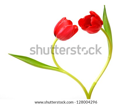 two red tulip isolated on white background - stock photo