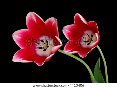 Two red tulips isolated on black background - stock photo