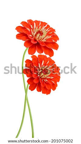 two red zinnia flowers, celebrating blooming - stock photo