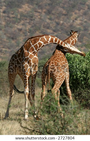 Two reticulated giraffe bulls in sparring fight - stock photo