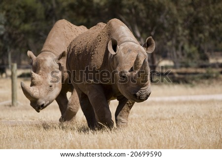 Two Rhino moving through field - stock photo