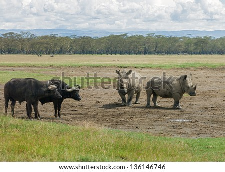 Two rhinoceros and buffalos at the Lake Nakuru National Park - Kenya, Eastern Africa - stock photo