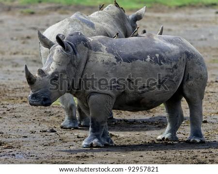 Two rhinoceros at Lake Nakuru National Park - Kenya, Africa - stock photo