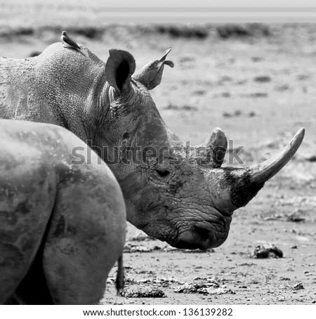 Two rhinoceros at Lake Nakuru National Park - Kenya (black and white) - stock photo