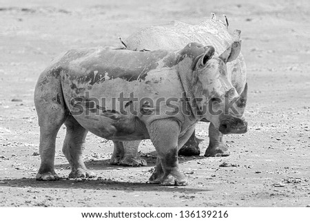 Two rhinoceros at Lake Nakuru National Park - Kenya. East Africa (black and white) - stock photo