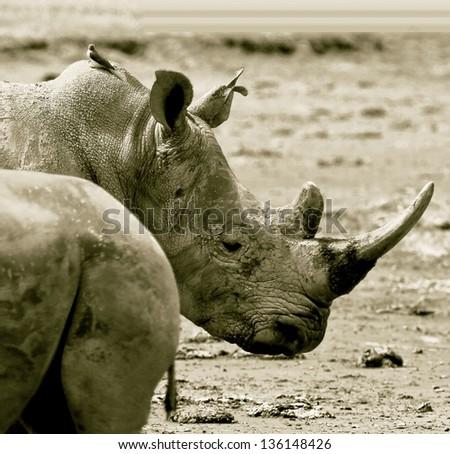 Two rhinoceros at Lake Nakuru National Park - Kenya (stylized retro) - stock photo