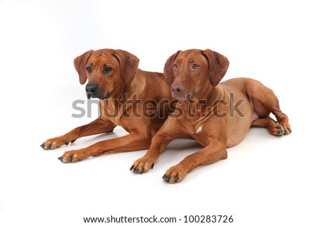 two Rhodesian Ridgeback dog breed on a white background - stock photo