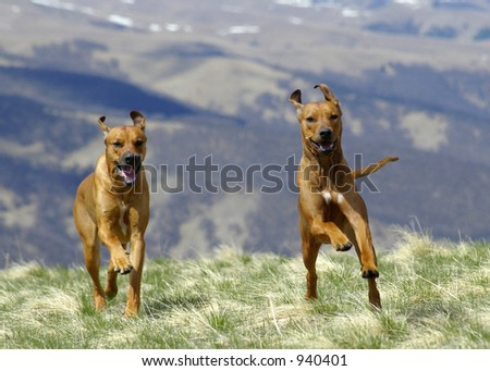 Two ridgebacks in action