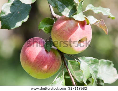 Two ripe red Apples on a branch of apple trees in the garden - stock photo