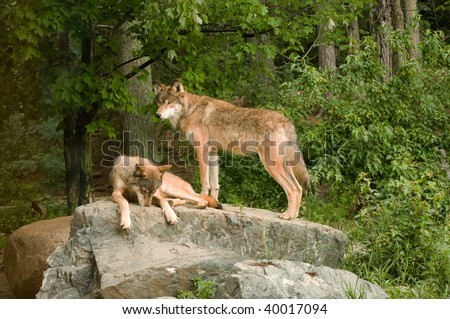 two rocky mountain wolves on top of their den relaxing and sunning in the sunshine - stock photo