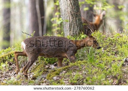 Two roe deer with female passing in foreground in the background the male - stock photo