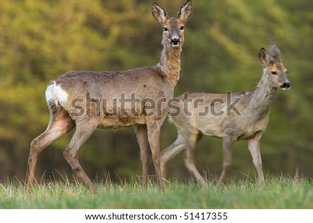 Two roe deers - stock photo
