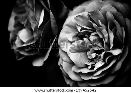 two roses in black and white - stock photo