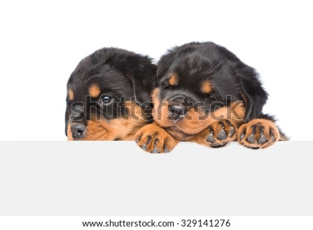 Two Rottweiler puppies peeking from behind empty board. isolated on white background - stock photo