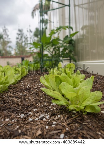 Two rows close up of young speckles butterhead lettuce growing in micro farming garden. This macro shot is vertical with lettuce at lower right and prominent in the frame. - stock photo