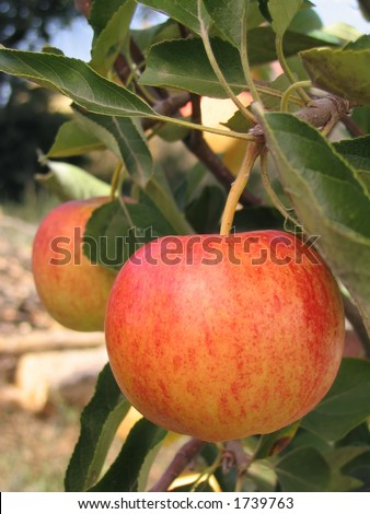 Two royal gala apples on the apple tree - stock photo