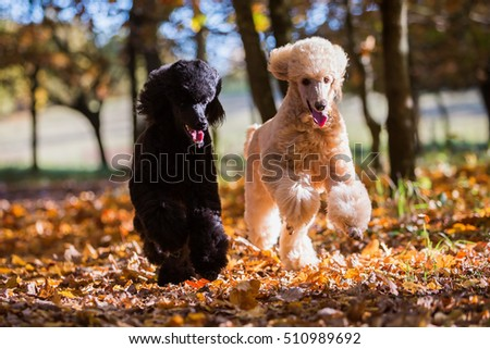 two royal poodles running in the autumn forest