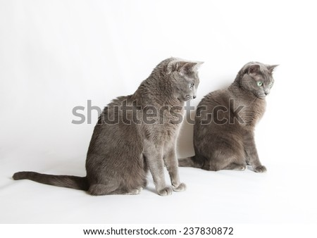 Two Russian Blue Cats isolated in warm light background, domestic cat, Russian Blue cat, Russian Blue cat with green eyes - stock photo
