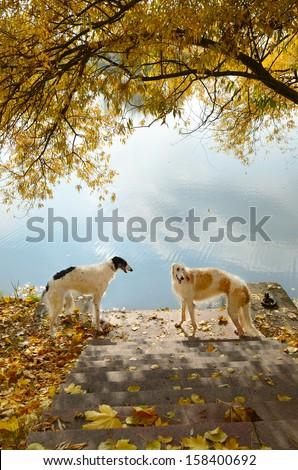 Two russian borzoi dogs in autumn background - stock photo