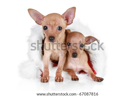 Two Russian toy terrier in Christmas cap on a white background